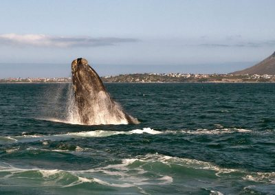hermanus-whales-4