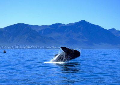 hermanus-whales-6